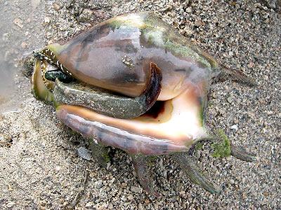 Spider conch, Lambis lambis