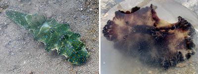Nudibranchs, Ceratosoma sinuata & Discodoris boholensis
