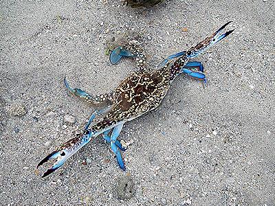 Flower crab, Portunus pelagicus