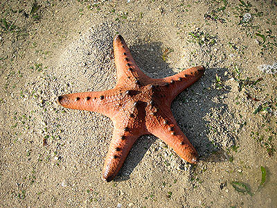 Knobbly sea star, Protoreaster nodosus