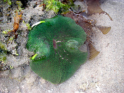 Carpet anemone, Stichodactyla sp.