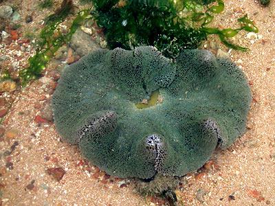 Carpet anemone, Stichodactyla Haddoni