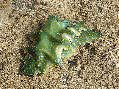 Nudibranch, Ceratosoma sinuata