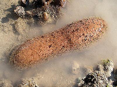 Stonefish sea cucumber, Actinopyga lecanora