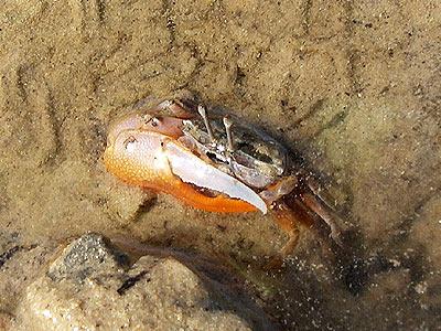 Fiddler crab, Uca sp.
