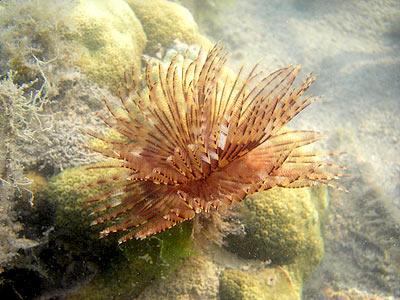 Fan worm, Sabellastarte indica