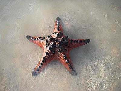 Protoreaster nodosus, Knobbly sea star