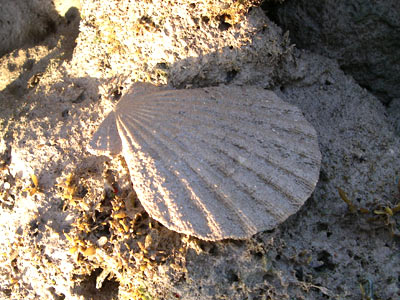 Scallop, Chlamys sp.