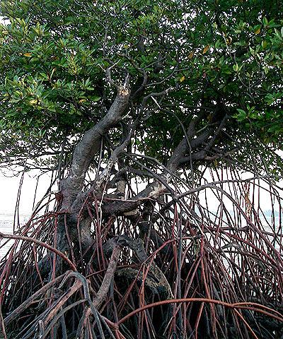 Bakau minyak, Rhizophora apiculata