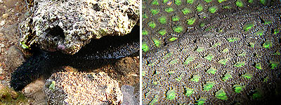 Black sea cucumber and zoanthids