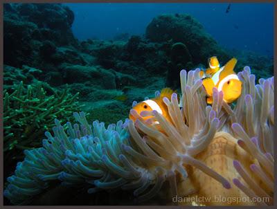 Clownfish Redang