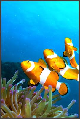 Clownfish 2 Redang