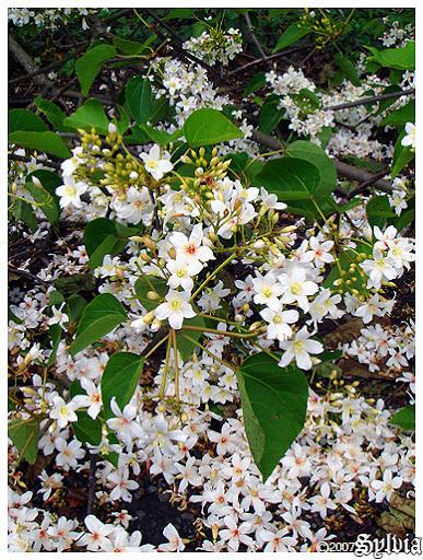 從油桐樹頂賞桐花可是難得的經驗 :p