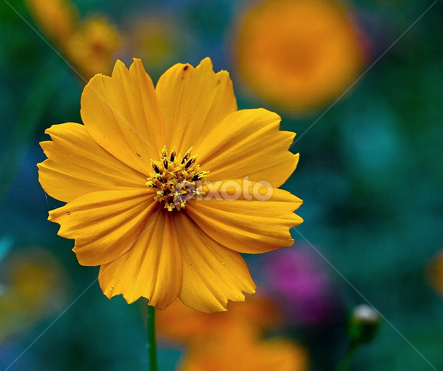 Yellow..... by Vincent Sinaga - Nature Up Close Flowers - 2011-2013