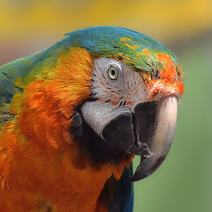 Parrot Rainbow X7 NR.jpg