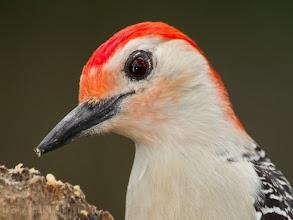 Photo: Red-Bellied Wodpecker