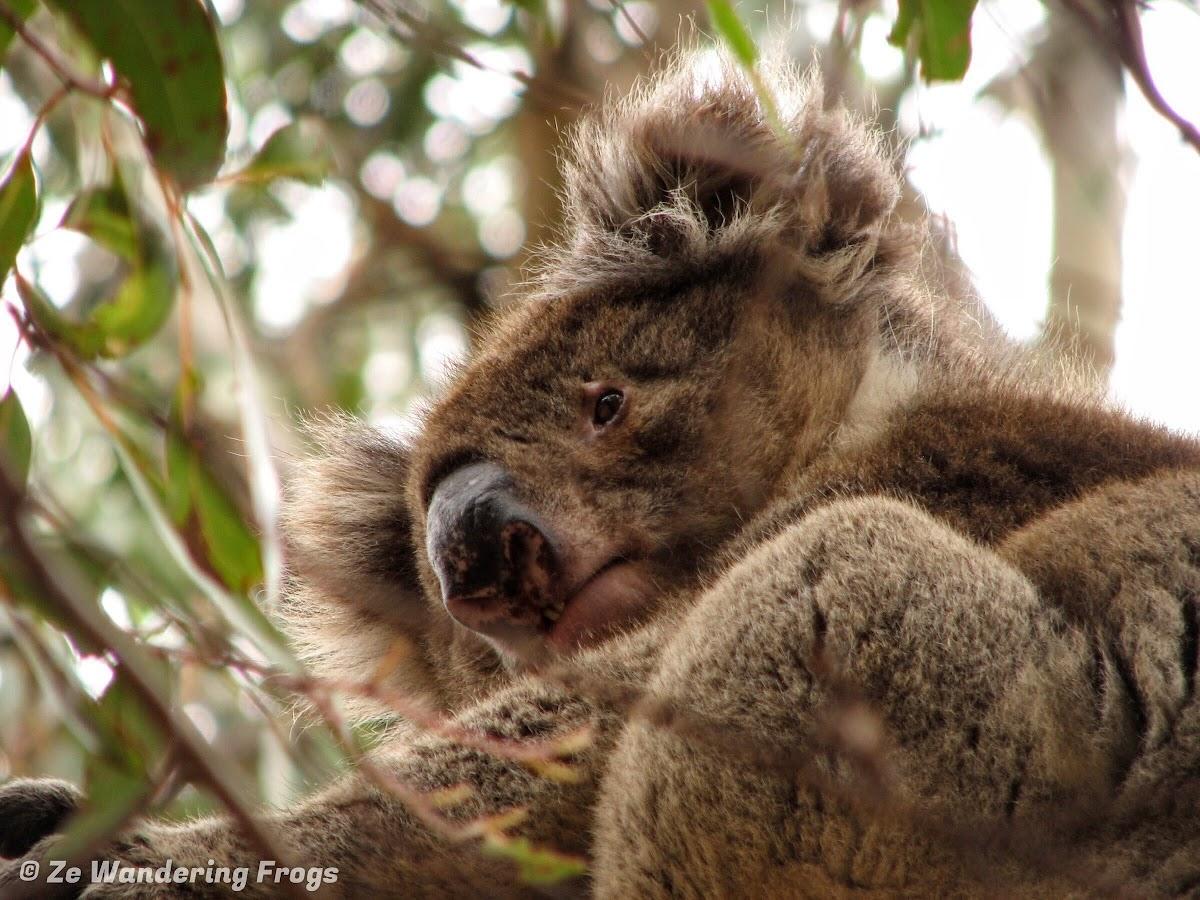 Koala in Eucalyptus tree, Hanson Bay Sanctuary