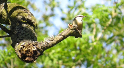 Photo: Nuthatch 10 June 2015 © Updale Natural History Recorder 2015