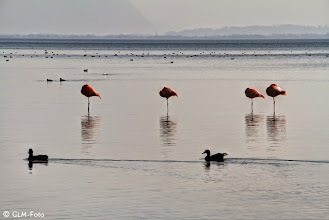 Photo: Flamingos in Seebruck