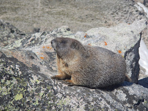 Photo: A marmot on Hallett Peak. Photo by Bill Walker