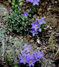 Photo: Campanula hierapetrae CAMPANULACEAE ΘΡΥΠΤΗ Ενδημικό Αν.Κρήτης  ΚΑΜΠΑΝΟΥΛΑ ΤΗΣ ΙΕΡΑΠΕΤΡΑΣ Φυτό μικρό, βελουδένιο, πολυετές. Βλαστοί περίπου 5- 10 cm ανερχόμενοι ή απλωτοί, λεπτοί, τριχόμορφοι. Φύλλα βάσης 8-10 mmωοειδή, σπατουλοειδή, με μίσχο. Φύλλα βλαστού ωοειδή ή σχεδόν δισκοειδή,με μικρό μίσχο. Άνθη 1-4, με κοντό ποδίσκο. Στεφάνη 12-15 mm, 2-3 φορές μεγαλύτερου μήκους από τον κάλυκα, γκριζο-γάλαζη, χοανοειδής. Στύλος ελαφρώς εξερχόμενος. H κάψα ανοίγει με 5 τρύπες στη βάση.Περίοδος ανθοφορίας: Ιούλιος-Αύγουστος σε χαράδρες ασβεστολιθικών βράχων (υψ. 1000-1450m) Σπάνιο (R) σύμφωνα με Κόκκινο Βιβλίο Σπανίων & Απειλουμένων Φυτών της Ελλάδας (1995) -Σπάνιο (R) σύμφωνα με IUCN 1997 Καθεστώς προστασίας για απειλούμενα είδη