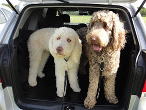 Photo: Alan and Brian Labradoodle
