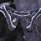 Rothschildia Silkmoth