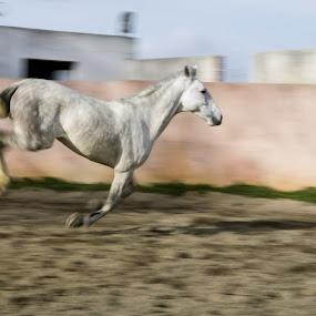 Horse by Anabela Henriques - Animals Horses ( panning, horse, animal,  )