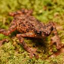 Dwarf toad