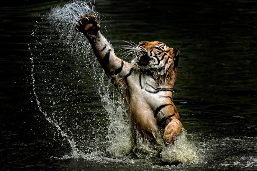 inXT88ldZR5Kgya 00rrVvWYgmk4pnG3k9xBjQm5hsc=w1000 h666 no - Один день в тигровой майке
