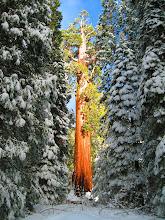 Photo: Sequoia Tree