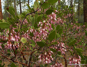 Photo: More manzanita glowing across the forest.