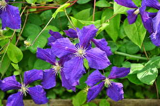 Photo: Clematis in tuin Dina de Ferme