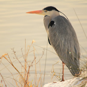 The Heron by Michael Topley - Animals Birds ( bird, water, snow, heron, animal )
