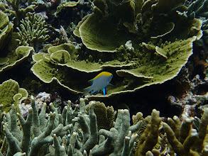 Photo: Neoglyphidodon meles (Bowtie Damselfish), Small Lagoon, Miniloc Island, Palawan, Philippines