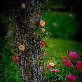 Old roses by Brenda Shoemake - Flowers Flower Gardens (  )