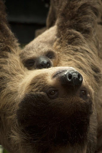 Baby Sloths Wallpaper Images