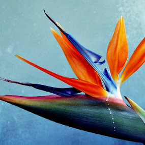 cry for joy by Ruy Lopes - Flowers Single Flower ( laranja, estrelícia, azul,  )