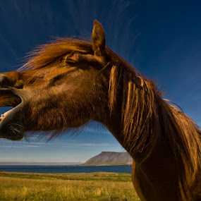 Ó sole mio by Þorsteinn H. Ingibergsson - Animals Horses ( iceland, nature, icelandic horse, horse, structor )