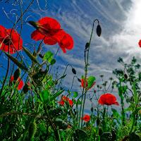 Poppies di