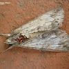 The Royal Ponciana Moth