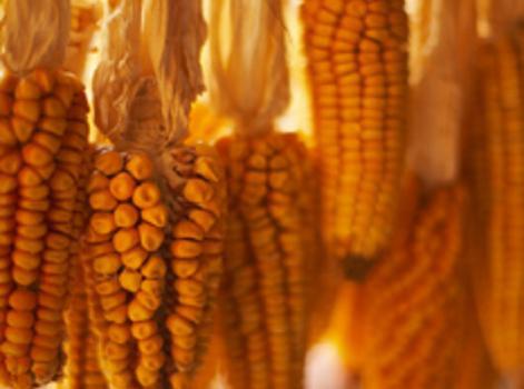 Guisado De Chicos, Or Dried, Corn Stew Recipe