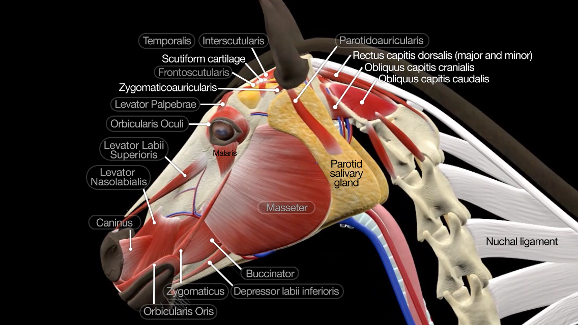 Horse anatomy games