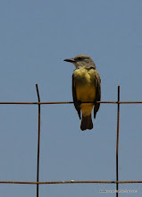 Photo: Tropical Kingbird, Laguna de Quelele