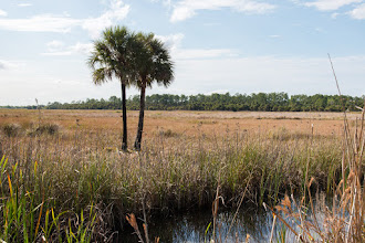 Photo: View of Jones Island, a hammock; Lake Woodruff NWR