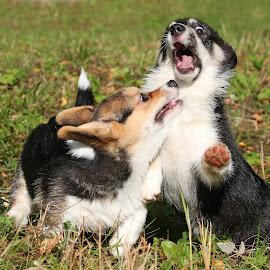 Funny faces by Mia Ikonen - Animals - Dogs Puppies ( mia ikonen, pembroke welsh corgi, playing, funny, finland,  )