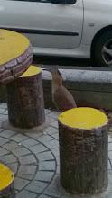 Photo: 黑冠麻鷺幾年前還被稱為罕見鳥,現在頗常見,有天傍晚竟然在車水馬龍    中坡南路五分埔成衣市場旁小公園,看到她