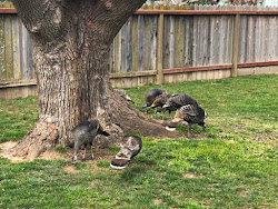 Turkey's in Sandy and Arny's backyard