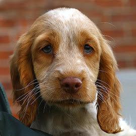Spaniel Pup by Chrissie Barrow - Animals - Dogs Puppies ( tan, spaniel, eats, white, puppy, dog, roan )