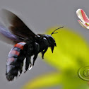 Carpenter bee - Female